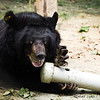 "Without the use of his eyes, Nick can still find his food almost as quickly as the other moon bears in the special care habitat at the Animals Asia Bear Rescue Centre in Chengdu, China<br /> <br /> All proceeds go to Animals Asia, who rescued Nick.<br /> <br /> <a href=""http://www.animalsasia.org"">http://www.animalsasia.org</a>"
