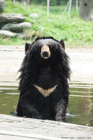 "It's hot work being a moon bear, but this lucky chap can laze around in pools and waterfalls!<br /> <br /> All proceeds go to Animals Asia, who keep this bathing bear cool.<br /> <a href=""http://www.animalsasia.org/"">http://www.animalsasia.org/</a>"