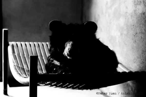 "Elderly moon bear Asia casts a silhouette in her den at the Animals Asia Bear Rescue Centre in Chengdu, China.<br /> <br /> All proceeds go to Animals Asia, who rescued Asia.<br /> <br /> <a href=""http://www.animalsasia.org/"">http://www.animalsasia.org/</a>"