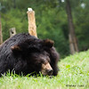"The happiest sight at the Animals Asia Bear Rescue Centre in Chengdu, China: bears snoozing contentedly wherever they fancy.<br /> <br /> All proceeds go to Animals Asia, who rescued this sleepy moon bear.<br /> <a href=""http://www.animalsasia.org/"">http://www.animalsasia.org/</a>"