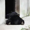 "Just not enough energy to make it home. <br /> <br /> All proceeds go to Animals Asia, who rescued this lazy moon bear.<br /> <a href=""http://www.animalsasia.org/"">http://www.animalsasia.org/</a>"