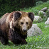 """Poupouce wanders around her lush habitat at the Animals Asia Bear Rescue Centre in Chengdu, China.<br /> <br /> All proceeds go to Animals Asia, who rescued Poupouce.<br /> <a href=""""http://www.animalsasia.org/"""">http://www.animalsasia.org/</a>"""
