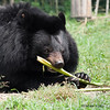 "Very intelligent animals, this moon bear has fashioned a flute out of some vegetation.<br /> <br /> All proceeds go to Animals Asia, who rescued this musical bear.<br /> <a href=""http://www.animalsasia.org/"">http://www.animalsasia.org/</a>"