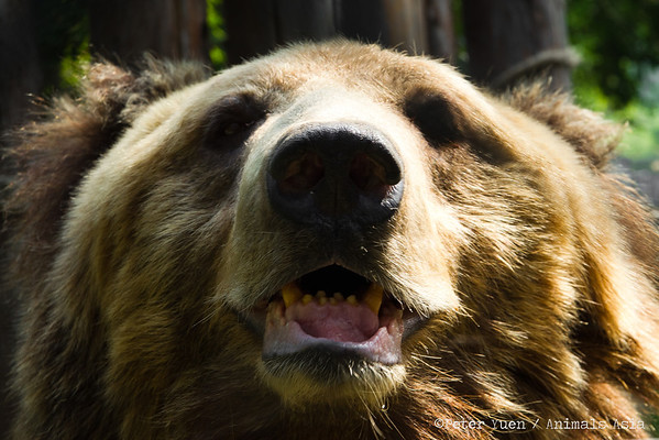 """Benji, a grinning Tibetan Brown bear at the Animals Asia Bear Rescue Centre in Chengdu, China.<br /> <br /> All proceeds go to Animals Asia, who changed Benji's life.<br /> <a href=""""http://www.animalsasia.org/"""">http://www.animalsasia.org/</a>"""
