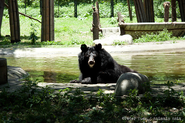 "This moon bear was waiting by the pool for 10 minutes for the waiter to bring her cocktail. Terrible service these days.<br /> <br /> All proceeds go to Animals Asia, who rescued this lucky bear.<br /> <a href=""http://www.animalsasia.org/"">http://www.animalsasia.org/</a>"