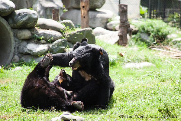 "Moon bears wrestling at the Animals Asia Bear Rescue Centre in Chengdu, China.<br /> <br /> All proceeds go to Animals Asia, who rescued these two playful bears.<br /> <a href=""http://www.animalsasia.org/"">http://www.animalsasia.org/</a>"