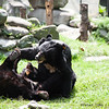 """Moon bears wrestling at the Animals Asia Bear Rescue Centre in Chengdu, China.<br /> <br /> All proceeds go to Animals Asia, who rescued these two playful bears.<br /> <a href=""""http://www.animalsasia.org/"""">http://www.animalsasia.org/</a>"""