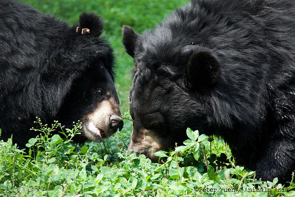 "A moon bear goes in for a kiss at the Animals Asia Bear Rescue Centre in Chengdu, China.<br /> <br /> All proceeds go to Animals Asia, who rescued these two gorgeous bears.<br /> <a href=""http://www.animalsasia.org/"">http://www.animalsasia.org/</a>"