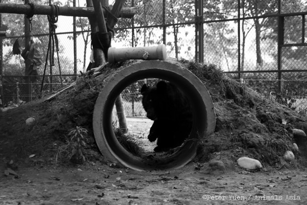 "A moon bear hiding from the camera in the special care habitat at the Animals Asia Bear Rescue Centre in Chengdu, China.<br /> <br /> All proceeds go to Animals Asia, who rescued this camera-shy bear.<br /> <a href=""http://www.animalsasia.org/"">http://www.animalsasia.org/</a>"