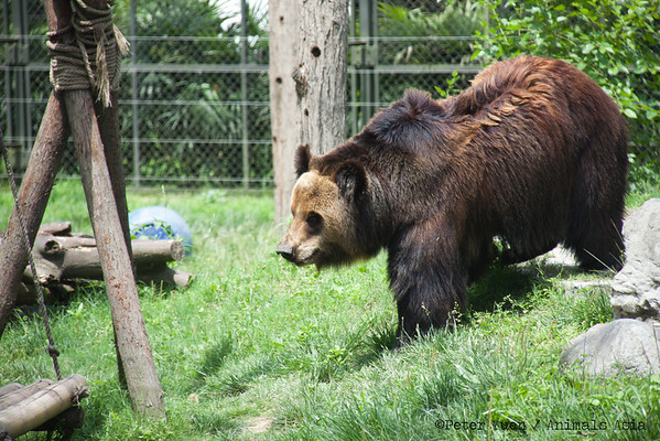 "Brown bear Caesar stalks her habitat for food after the keepers have performed her enrichment at the Animals Asia Bear Rescue Centre in Chengdu, China.<br /> <br /> All proceeds go to Animals Asia, who rescued Caesar.<br /> <a href=""http://www.animalsasia.org/"">http://www.animalsasia.org/</a>"