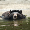 "A moon bear goes swimming at the Animals Asia Bear Rescue Centre in Chengdu, China.<br /> <br /> All proceeds go to Animals Asia, who rescued this floating bear.<br /> <a href=""http://www.animalsasia.org/"">http://www.animalsasia.org/</a>"