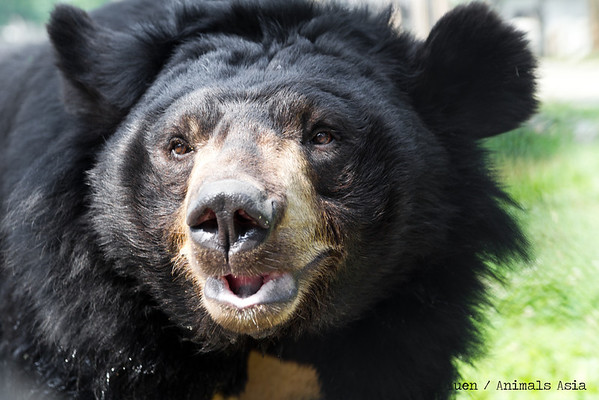 "This grizzly old fellow isn't a grizzly at all.<br /> <br /> All proceeds go to Animals Asia, who rescued this gorgeous moon bear.<br /> <a href=""http://www.animalsasia.org/"">http://www.animalsasia.org/</a>"