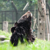 """Enjoying the fresh air at Animals Asia Bear Rescue Centre in Chengdu, China. <br /> <br /> All proceeds go to Animals Asia, who created these wonderful habitats for all the bears to enjoy.<br /> <a href=""""http://www.animalsasia.org/"""">http://www.animalsasia.org/</a>"""