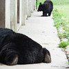 "Just not enough energy to make it home. <br /> <br /> All proceeds go to Animals Asia, who rescued this lazy moon bear.<br />  <a href=""http://www.animalsasia.org"">http://www.animalsasia.org</a>"