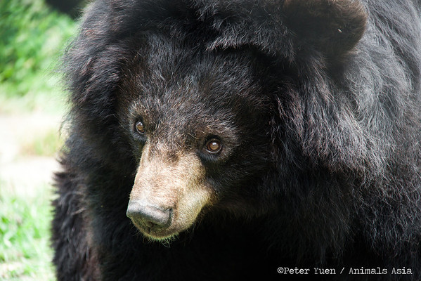 "Of all the shapes and sizes of bears at the Animals Asia Bear Rescue Centre in Chengdu, China, this was the hairiest.<br /> <br /> All proceeds go to Animals Asia, who rescued this lovely moon bear. <a href=""http://www.animalsasia.org"">http://www.animalsasia.org</a>"