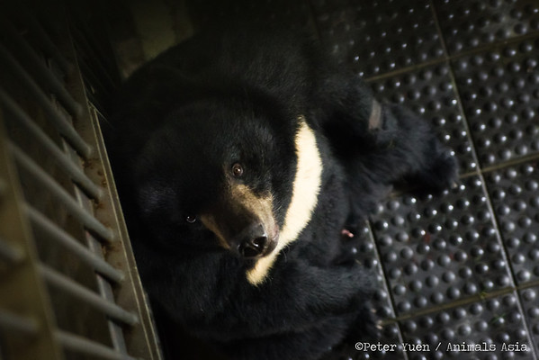 "The bears are brought inside while the keepers hide food around their habitats at the Animals Asia Bear Rescue Centre in Chengdu, China.<br /> <br /> All proceeds go to Animals Asia, who rescued this patient moon bear.<br /> <a href=""http://www.animalsasia.org/"">http://www.animalsasia.org/</a>"