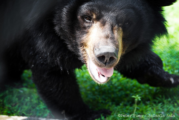 "A moon bear shoots a cheeky grin at the Animals Asia Bear Rescue Centre in Chengdu, China.<br /> <br /> All proceeds go to Animals Asia, who rescued this cheeky chappie.<br /> <a href=""http://www.animalsasia.org/"">http://www.animalsasia.org/</a>"