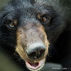 "Though curious and gorgeous in equal measure, this bear needs a tissue.<br /> <br /> All proceeds go to Animals Asia, who rescued this moon bear.<br /> <a href=""http://www.animalsasia.org/"">http://www.animalsasia.org/</a>"