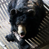 "Asia, an elderly moon bear with skin conditions, gets lots of TLC at the Animals Asia Bear Rescue Centre in Chengdu, China.<br /> <br /> All proceeds go to Animals Asia, who look after Asia the moon bear.<br /> <a href=""http://www.animalsasia.org/"">http://www.animalsasia.org/</a>"