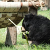 "Another missing her front paw, this gorgeous bear prepares for her lunch at the Animals Asia Bear Rescue Centre in Chengdu, China.<br /> <br /> All proceeds go to Animals Asia, who rescued this little one.<br /> <a href=""http://www.animalsasia.org/"">http://www.animalsasia.org/</a>"