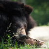 "In deep thought about how lucky he is to be at the Animals Asia Bear Rescue Centre in Chengdu, China.<br /> <br /> All proceeds go to Animals Asia, who rescued this fellow.<br /> <a href=""http://www.animalsasia.org/"">http://www.animalsasia.org/</a>"