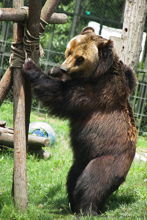 """Caesar the brown bear searches for food in her habitat at the Animals Asia Bear Rescue Centre in Chengdu, China.<br /> <br /> All proceeds go to Animals Asia, who rescued Caesar.<br /> <a href=""""http://www.animalsasia.org/"""">http://www.animalsasia.org/</a>"""