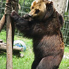 "Caesar the brown bear searches for food in her habitat at the Animals Asia Bear Rescue Centre in Chengdu, China.<br /> <br /> All proceeds go to Animals Asia, who rescued Caesar.<br /> <a href=""http://www.animalsasia.org/"">http://www.animalsasia.org/</a>"