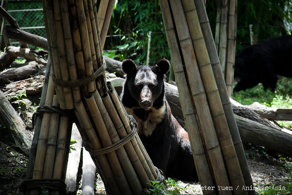 "Emma, a half-brown bear, gets curious from afar.<br /> <br /> All proceeds go to Animals Asia, who rescued Emma and her friends.<br /> <a href=""http://www.animalsasia.org/"">http://www.animalsasia.org/</a>"