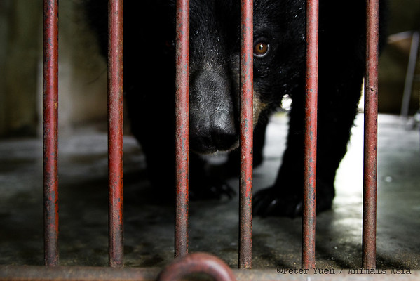 """Baobe's photographer-hunting instincts kick in at the Animals Asia Bear Rescue Centre in Chengdu, China.<br /> <br /> All proceeds go to Animals Asia, who rescued Baobe.<br /> <a href=""""http://www.animalsasia.org/"""">http://www.animalsasia.org/</a>"""