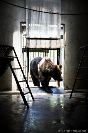 "Brown bear Stan comes in to the shade at the Animals Asia Bear Rescue Centre in Chengdu, China.<br /> <br /> All proceeds go to Animals Asia, who rescued Stan.<br /> <a href=""http://www.animalsasia.org/"">http://www.animalsasia.org/</a>"