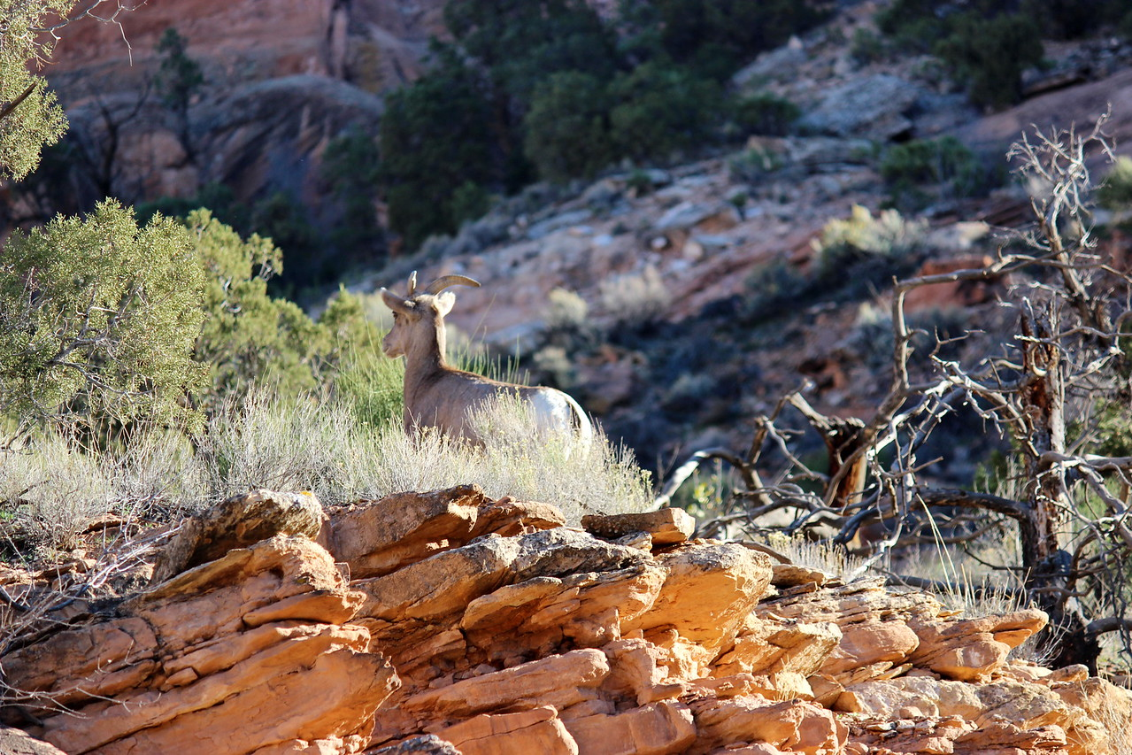 Desert Bighorn Sheep in the National Monument