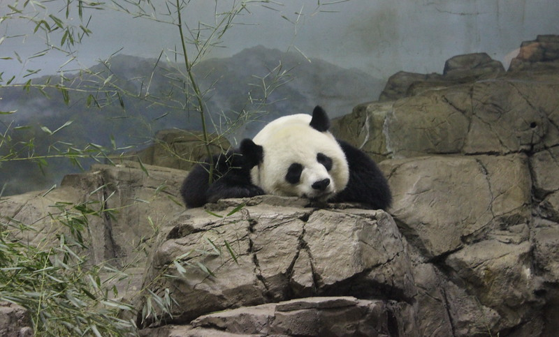 Giant Panda at Rest