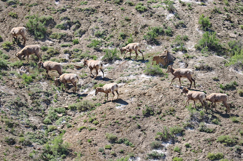 Desert Big Horn Sheep Grazing