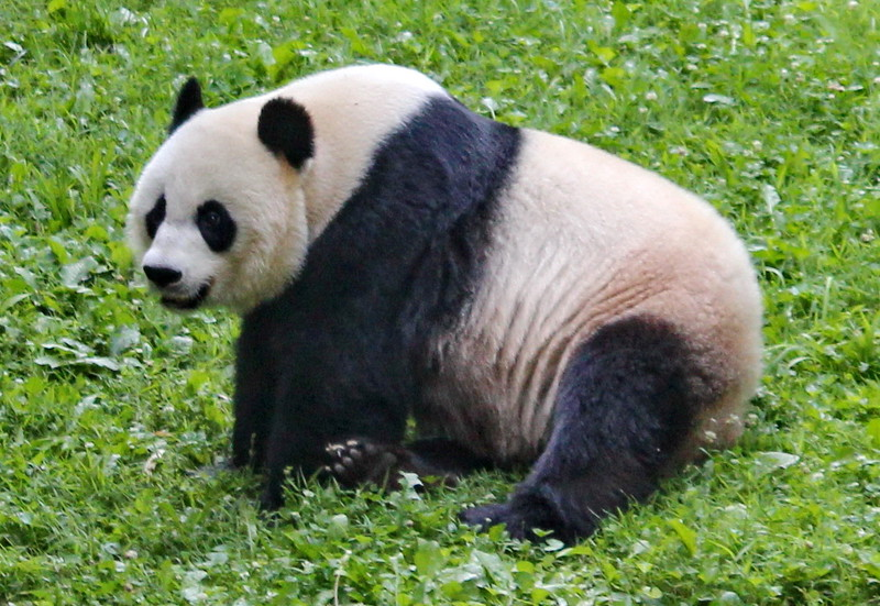 Giant Panda Rests in the Grass