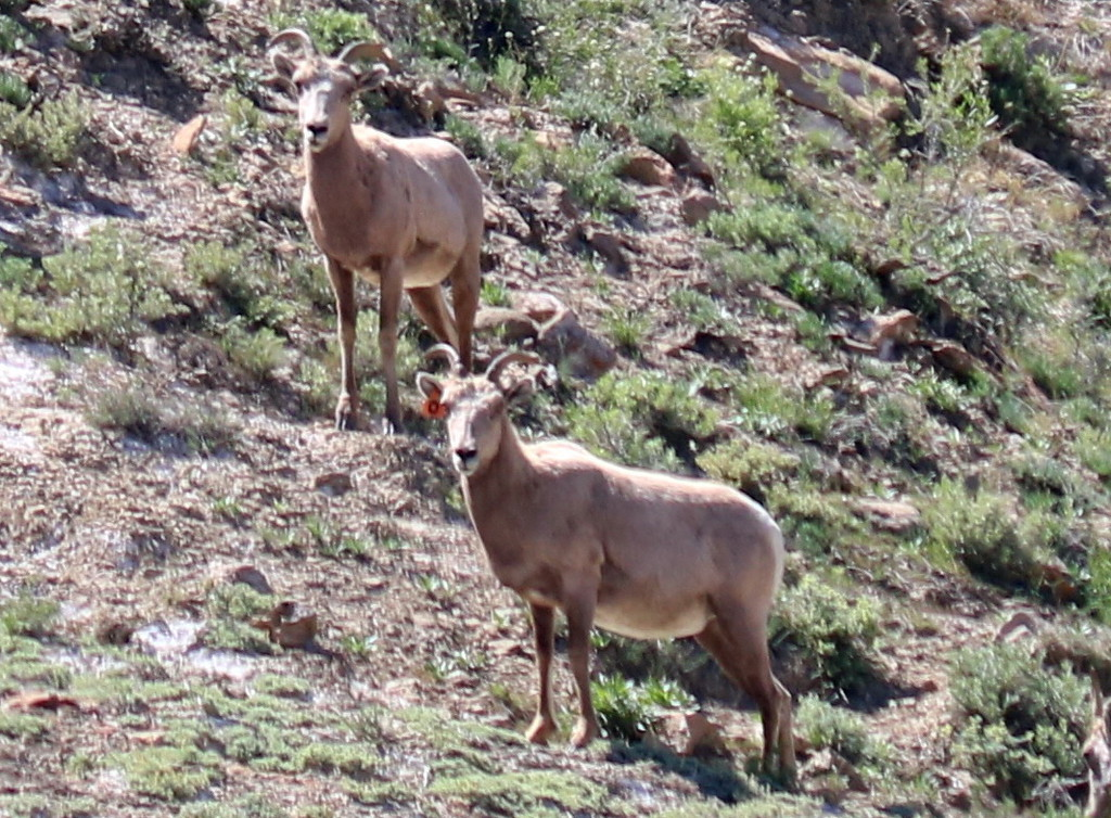 Desert Bighorn Sheep Tagged
