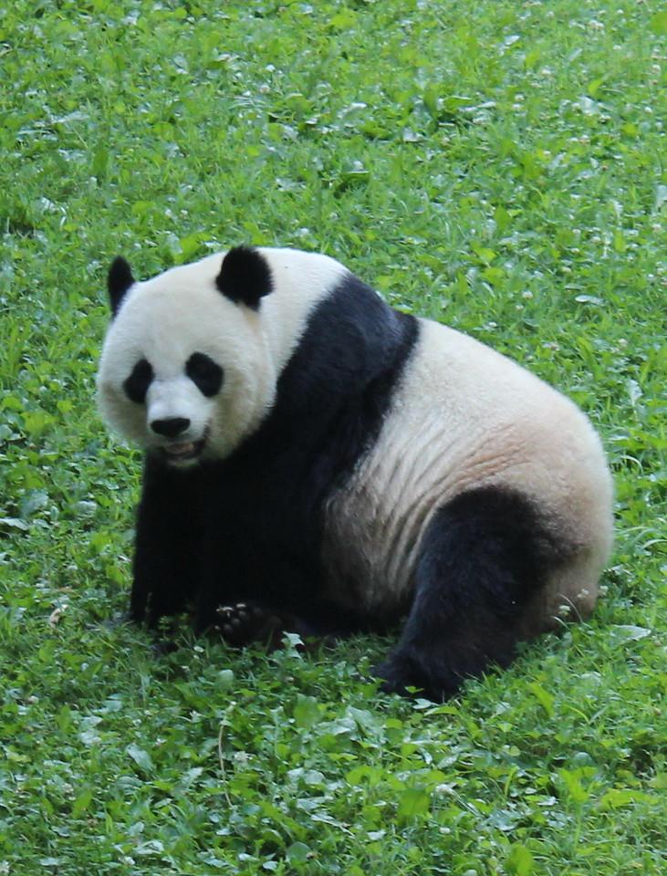 Giant Panda 3