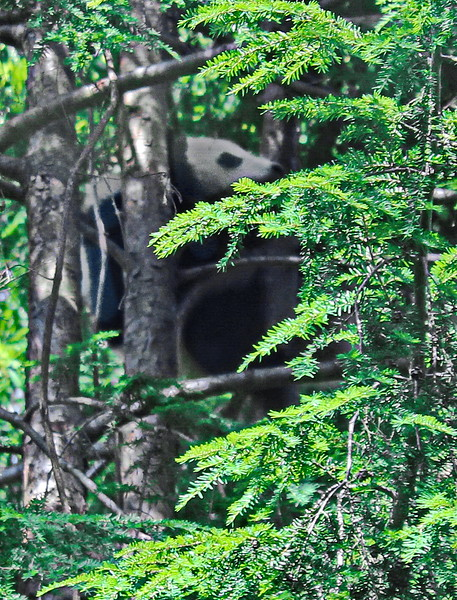 Baby Giant Panda in the Trees