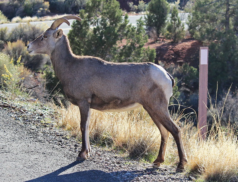 Desert Bighorn Sheep Crossing the Road