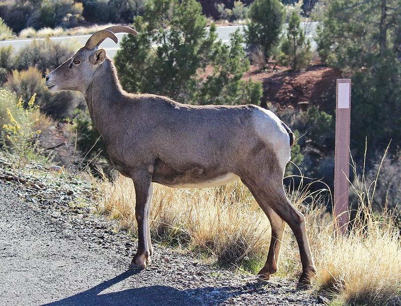 Desert Bighorn Sheep Crossing the Road