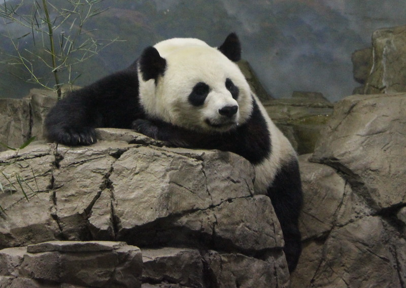 Giant Panda Sees People