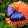 Blue Morpho 7739 w29