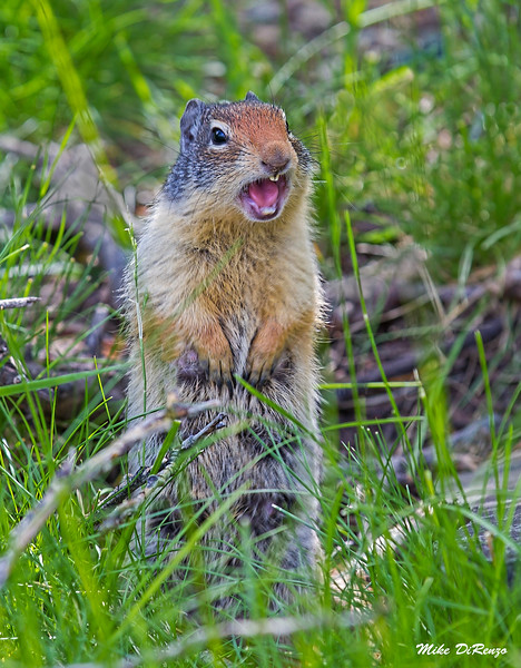 Ground Squirrel 9761 w53