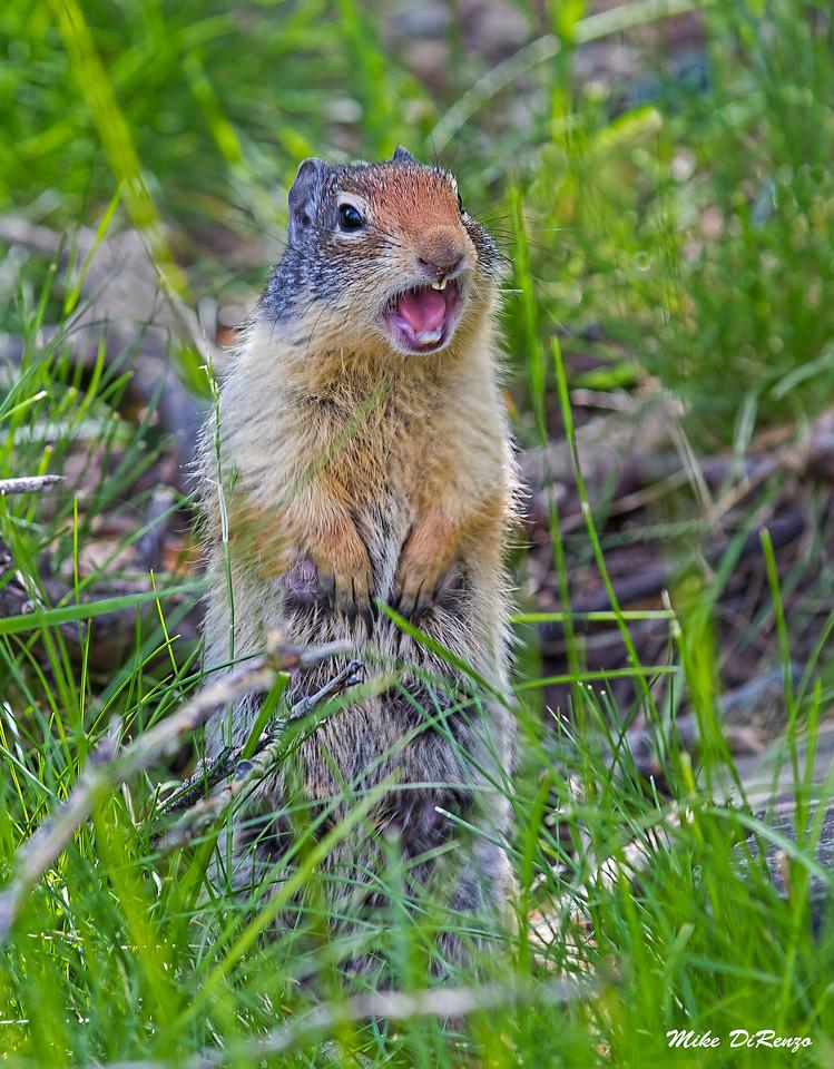 Ground Squirrel 9761 w53