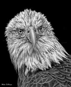 Bald Eagle 5894 w52
