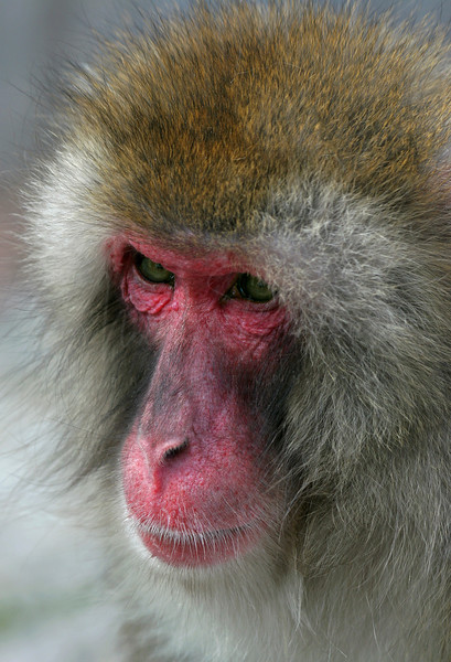 Pensive Ape - Japanese Snow Monkey - Macat