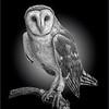 Barn Owl 6413 w73