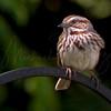 Song Sparrow 6458