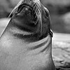 Sunning Sealion Bornx Zoo