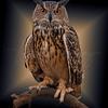 Great Horned Owl 5617 w52