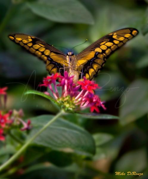Monarch Butterfly 7028  w28